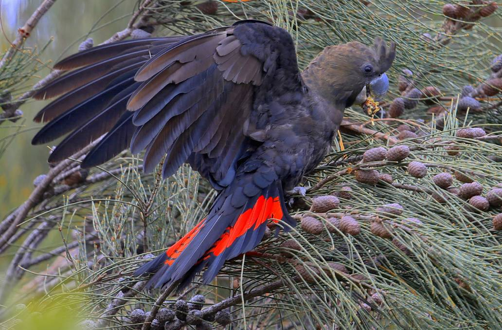 LOOKOUT FOR: A male glossy black cockatoo. Photo: Charles Dove